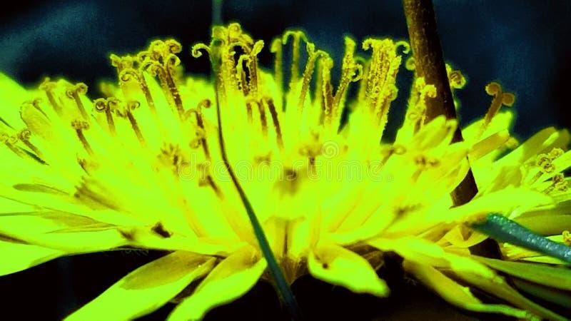 Neonowy Dandelion zdjęcia royalty free