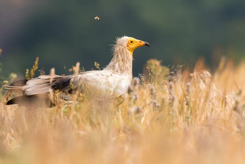 Neophron Percnopterus dell'avvoltoio egiziano immagini stock