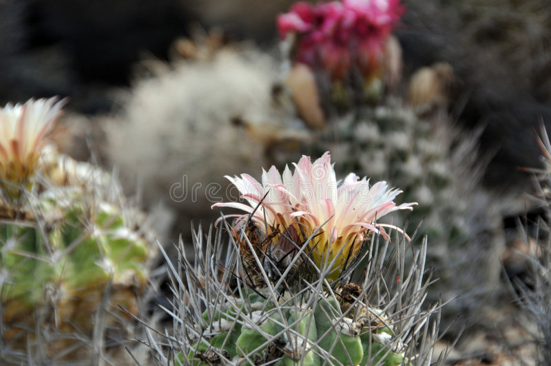 Neoporteria Kaktus stockbild