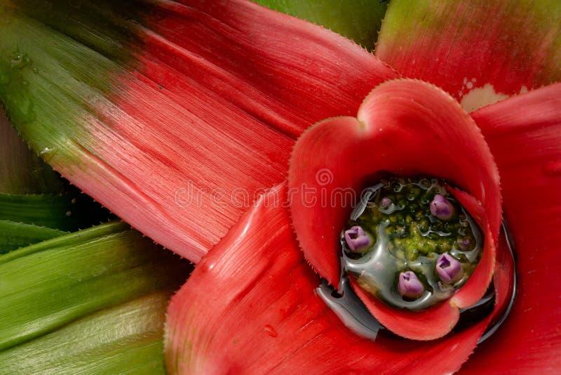 Neoregelia blom med purpurfärgade blommor arkivfoton