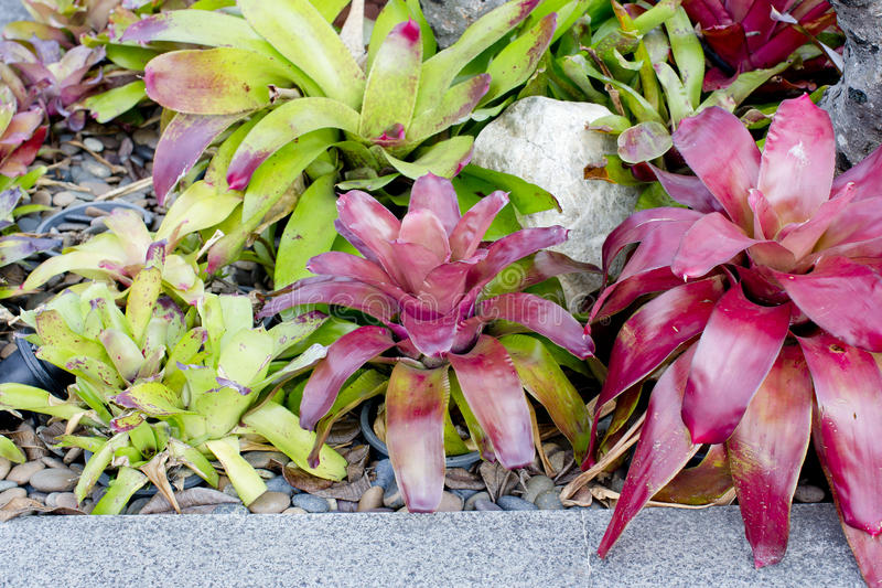 Neoregelia Bromeliad plant in garden. royalty free stock photography