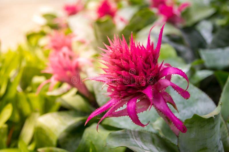 Neoregelia, flor de la bromelia en el jardín fotos de archivo libres de regalías