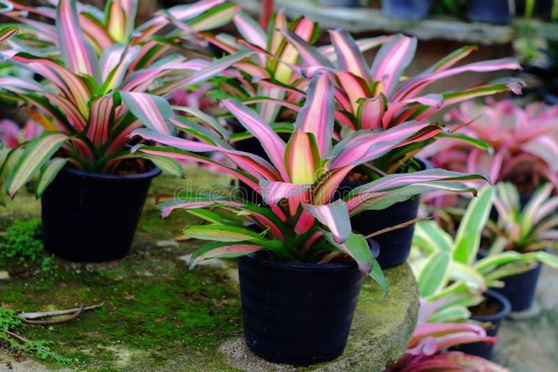 Neoregelia tropical plant stock image