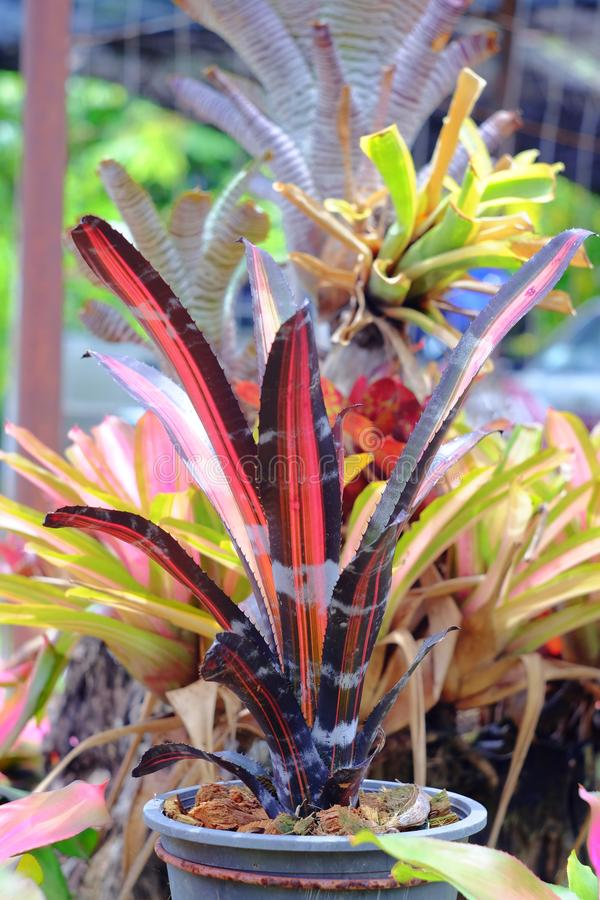 Neoregelia tropical plant royalty free stock images