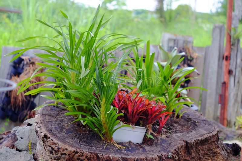 Neoregelia tropical plant stock photography