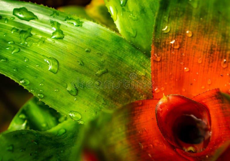 Neoregeliaclose-up met gedetailleerde kleuren royalty-vrije stock foto's
