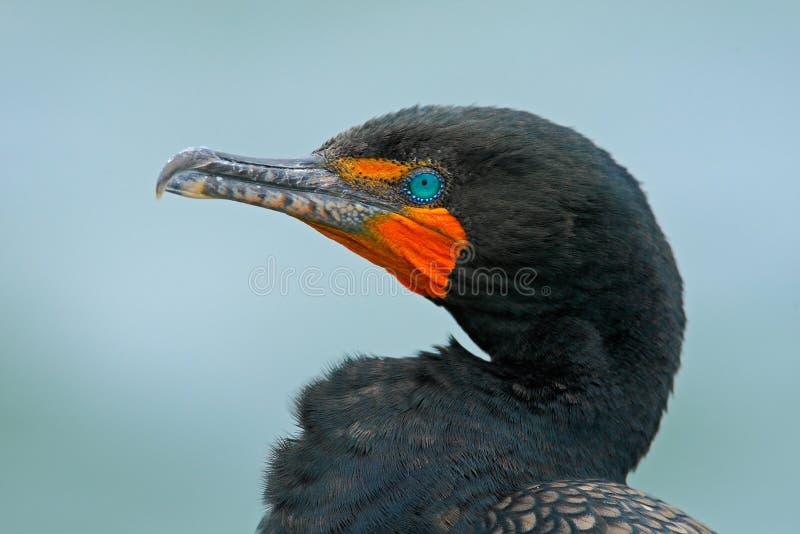 Neotropic Cormorant, brasilianus del Phalacrocorax, ritratto del dettaglio con l'occhio blu-chiaro, chiaro fondo, Belize fotografie stock
