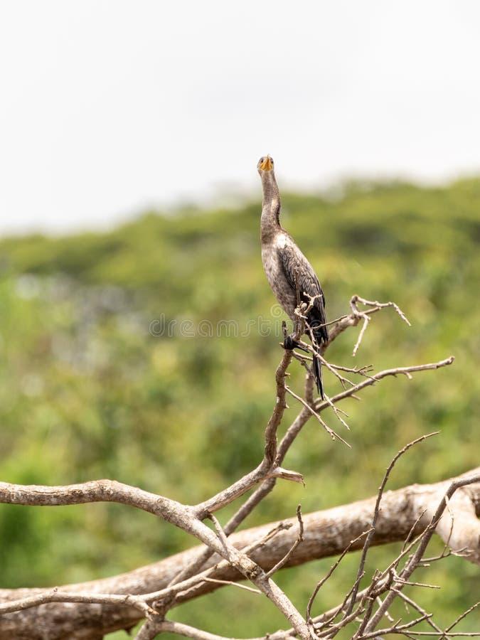 Neotropic kormoran &-x28; Phalacrocorax brasilianus&-x29; w Costa Rica obraz royalty free