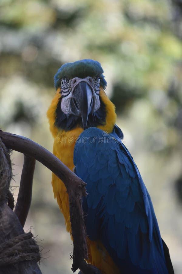 Neotropical蓝色和金金刚鹦鹉在栖息处 免版税库存照片