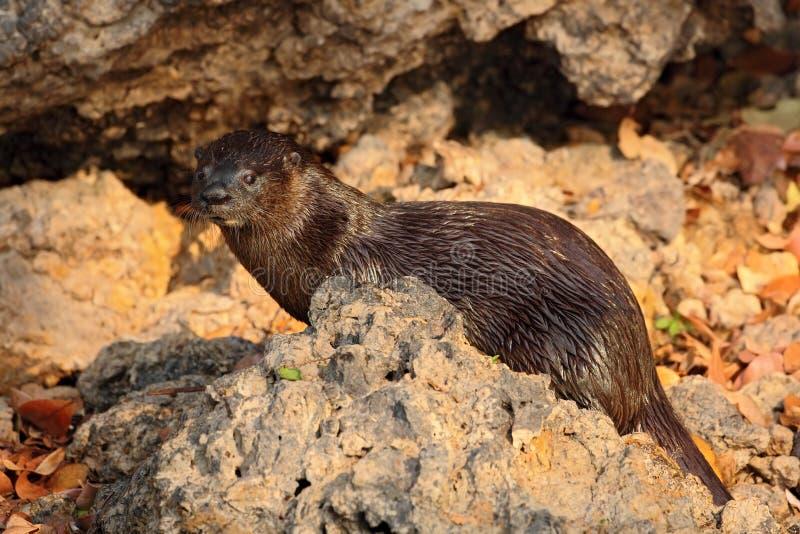 Neotropical Otter, Lontra longicaudis, sitting on the rock river coast, rare animal in the nature habitat, Rio Negro, Pantanal, Br. Azil royalty free stock photos