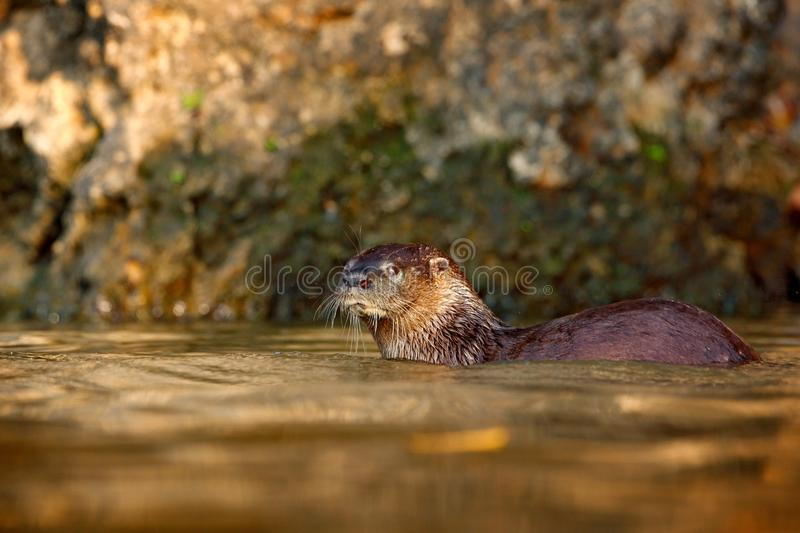 Neotropical Otter, Lontra longicaudis, sitting on the rock river coast, rare animal in the nature habitat, Rio Negro, Pantanal, Br. Azil royalty free stock images