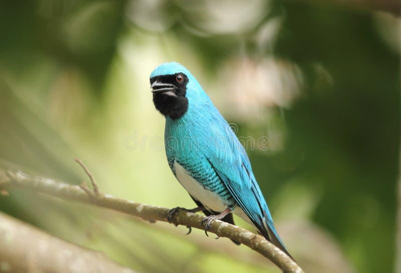 Neotropical Vogel Schwalbe Tanager gehockt lizenzfreie stockfotos