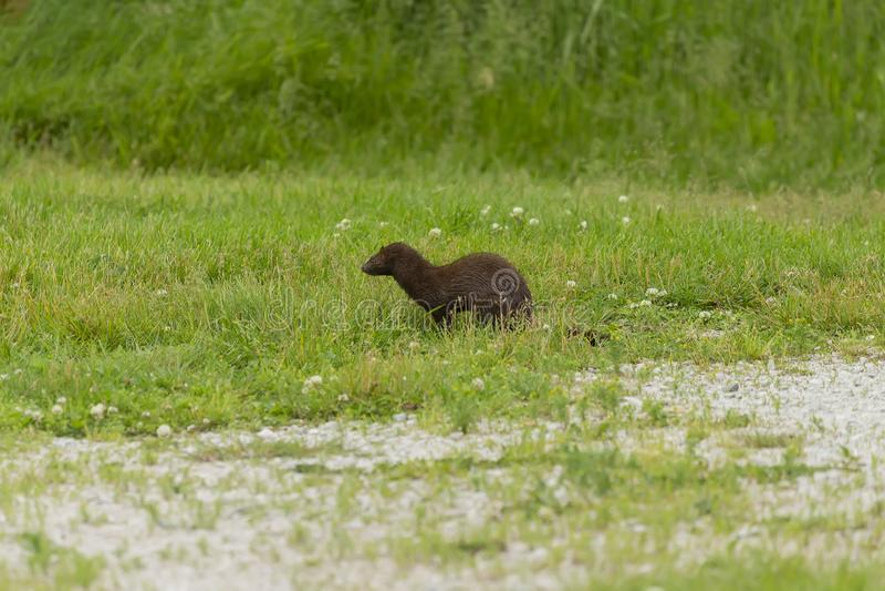 Neovison för amerikansk mink vison på jakten royaltyfria foton