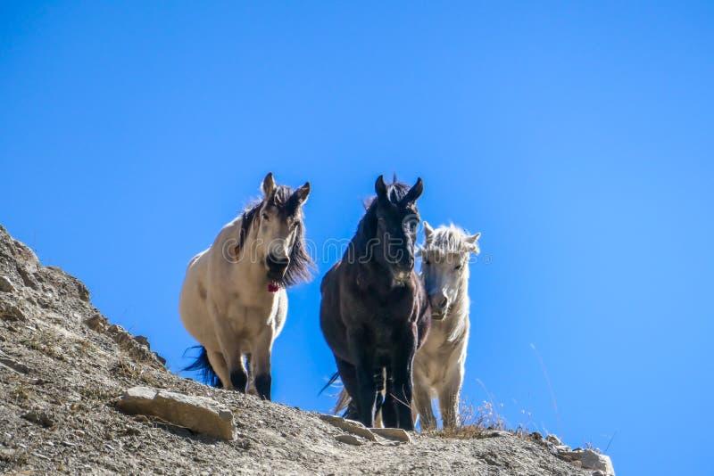 Nepal - andarilhos do cavalo fotos de stock