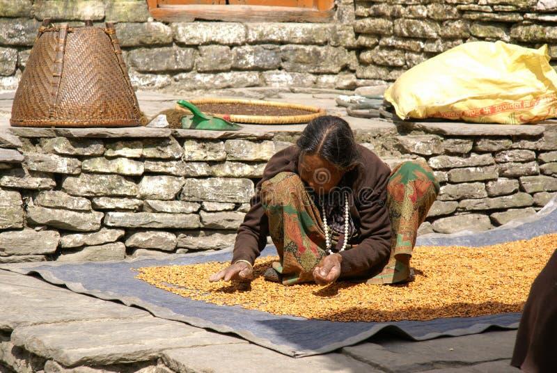 Nepal Bean Counter royalty free stock image