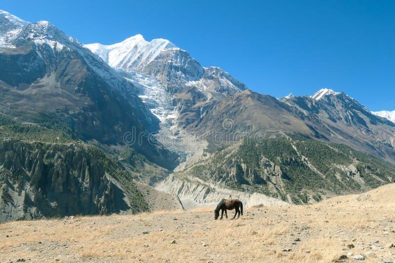 Nepal - cavalo Himalaia que olha no prado imagem de stock royalty free