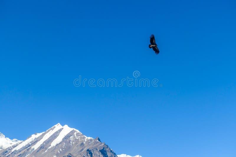 Nepal - Havik de jacht in Himalayagebergte royalty-vrije stock afbeelding