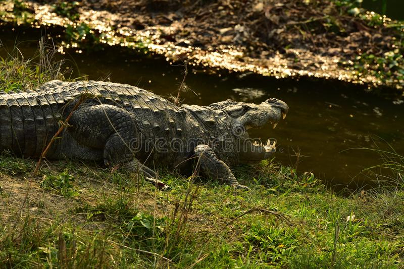 Nepal, het Nationale Park van Chitwan Alligator stock afbeeldingen
