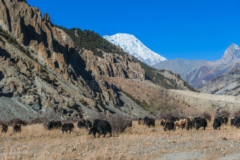 Nepal - iaques que olham no prado imagem de stock royalty free