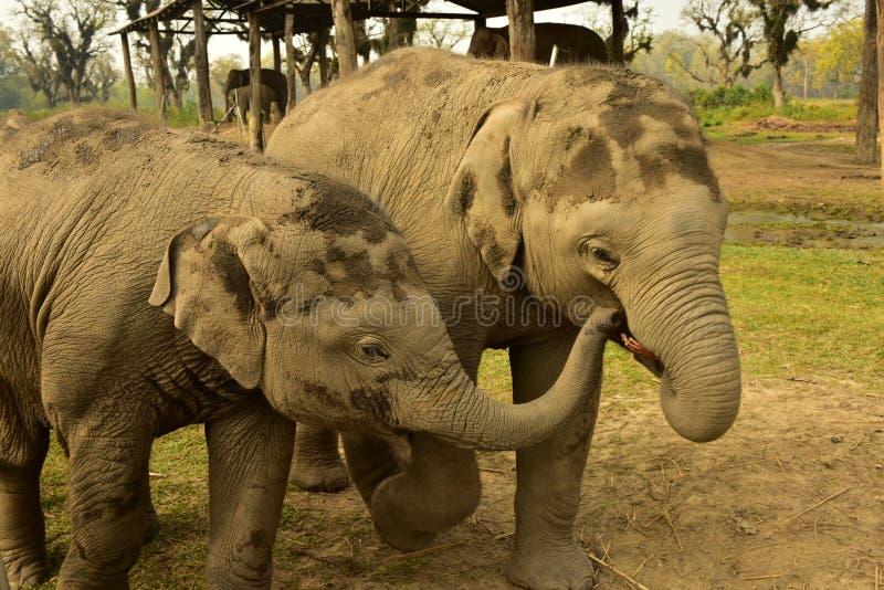 Nepal, parque nacional de Chitwan Elefantes imagenes de archivo
