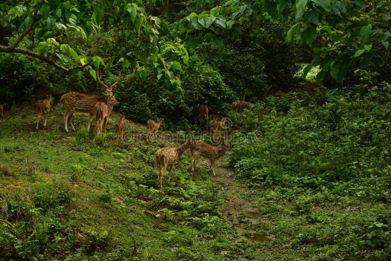Nepal, parque nacional de Chitwan Manada de ciervos fotografía de archivo libre de regalías