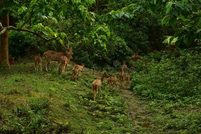 Nepal, parque nacional de Chitwan Manada de ciervos imágenes de archivo libres de regalías
