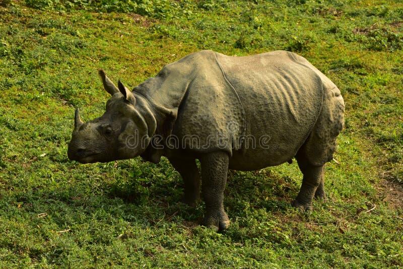 Nepal, parque nacional de Chitwan Rhinio foto de archivo