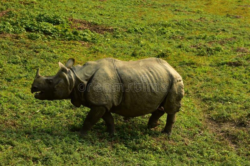 Nepal, parque nacional de Chitwan Rhinio foto de archivo libre de regalías