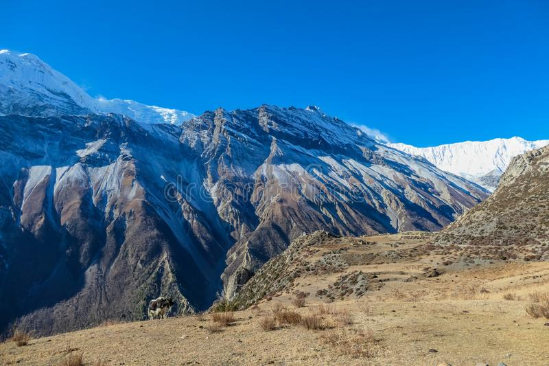 Nepal -  Yak gazing on the meadow stock image