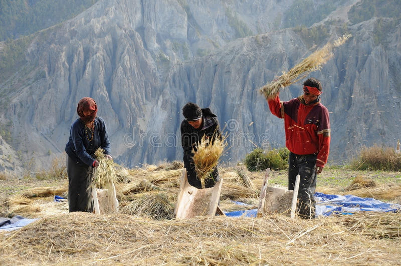 Nepalese people process cereals harvest, Nepal