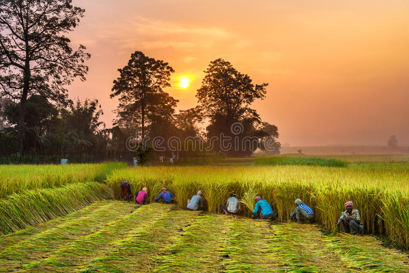 Nepalese people working in a rice field at sunrise stock photo