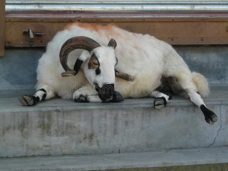 Nepalese white goat with big horns resting in a stairs stock images
