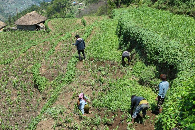 Nepalesische junge Männer, die auf dem Gebiet, Nepal arbeiten lizenzfreie stockfotos
