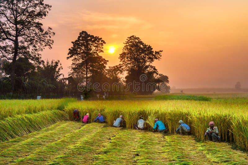Nepalesische Leute, die auf einem Reisgebiet bei Sonnenaufgang arbeiten stockfoto
