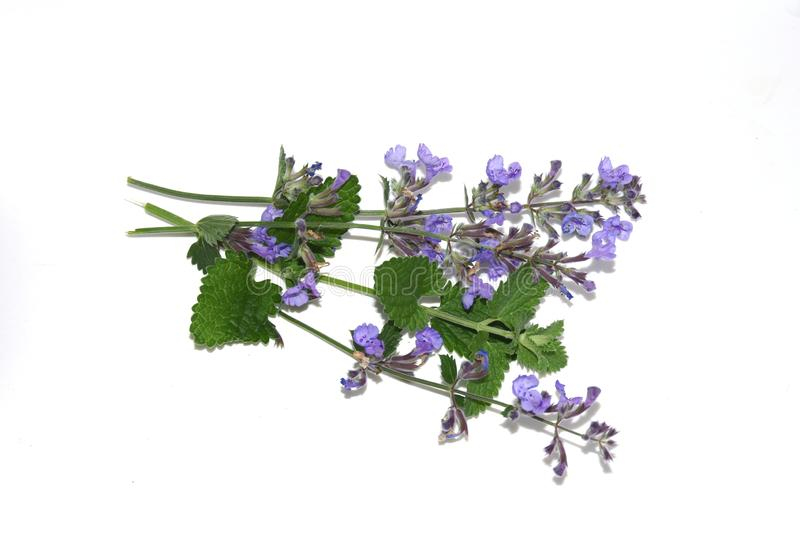 Nepata cataria catnip branch isolated. Catnip flowers Nepeta cataria isolated on white background royalty free stock photos