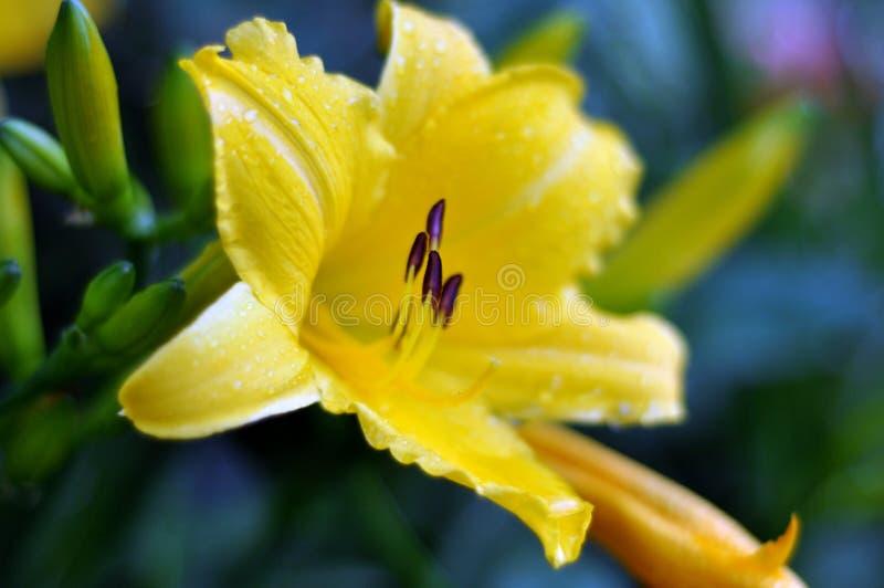 Nepente, emerocallidi, emerocallide, zhen-hua jin, fiori, fiori, piante ornamentali, molla, inverdimento urbano, fiori, piante, n fotografia stock
