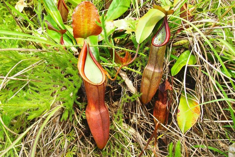 Nepente, piante di lanciatore tropicale. fotografia stock