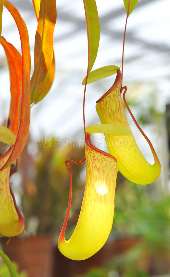 Nepenthe tropical carnivore plant. In garden stock images