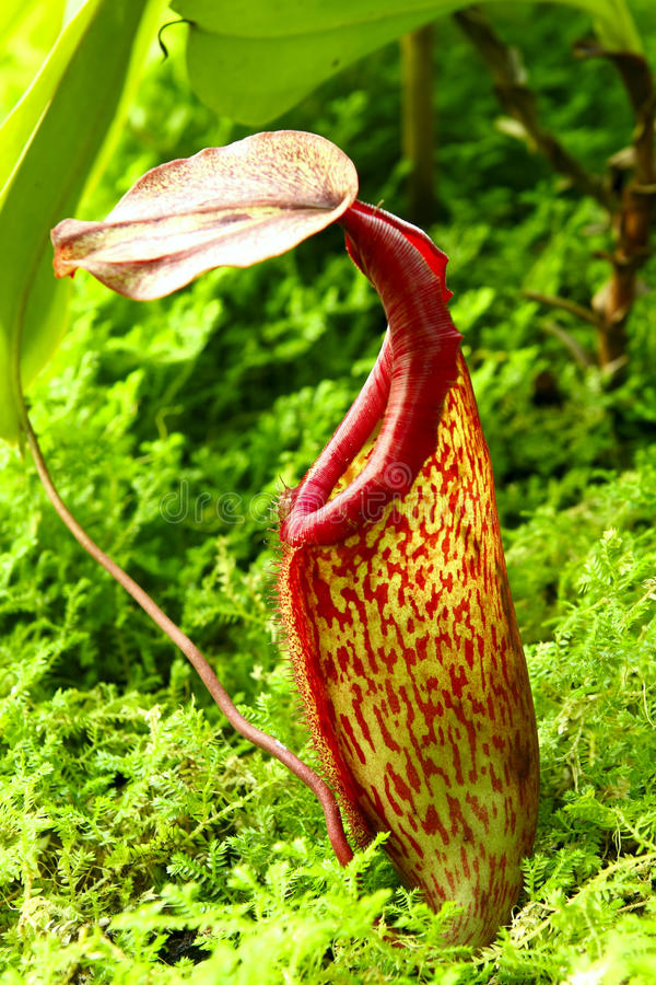 Nepenthe tropical carnivore plant. At day royalty free stock images