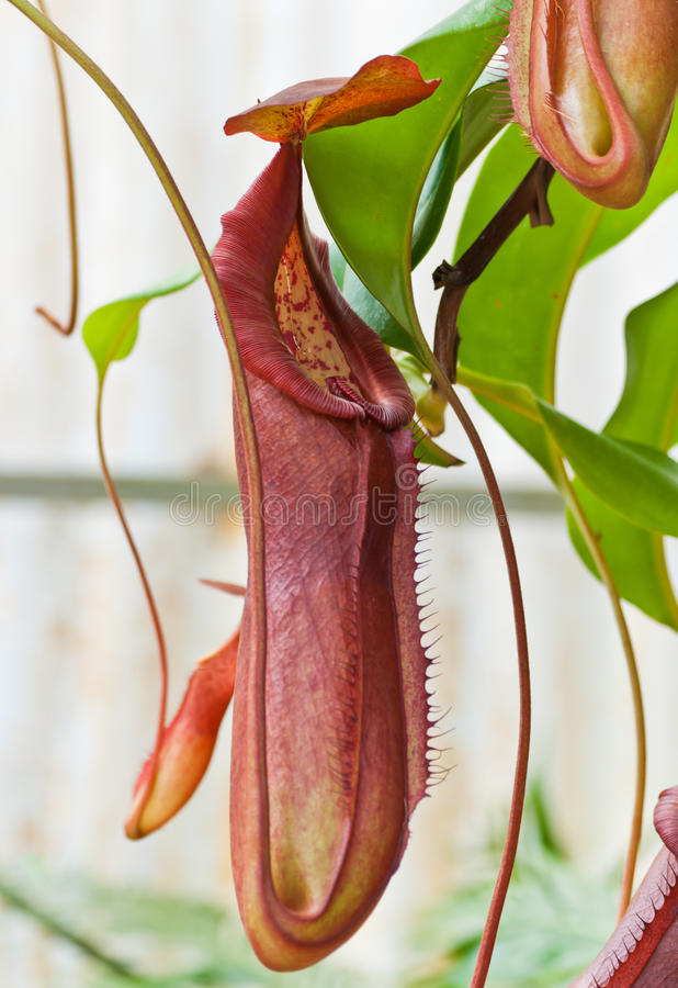 Nepenthe tropical carnivore plant. At Queen Sirikit Botanic Garden, Chiang Mai, Thailand stock image