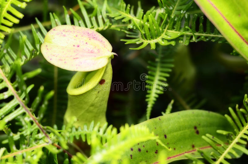 Nepenthe tropical carnivore plant stock photo