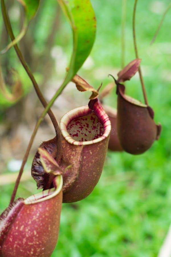 Nepenthes, заводы тропического кувшина, чашки обезьяны стоковое фото