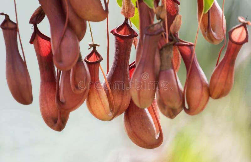 Nepenthes foto de archivo