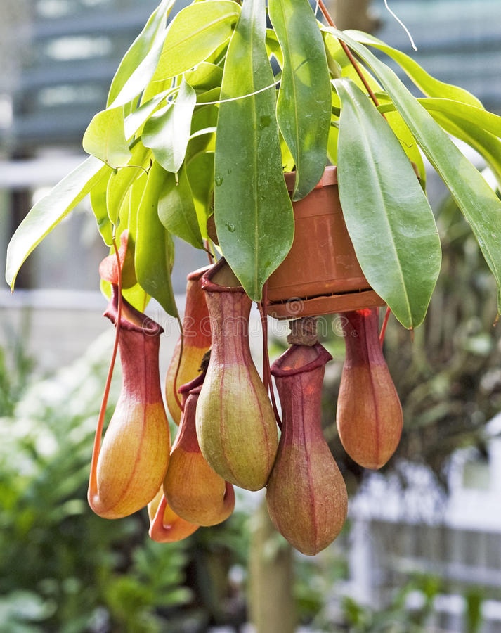 nepenthes arkivbilder