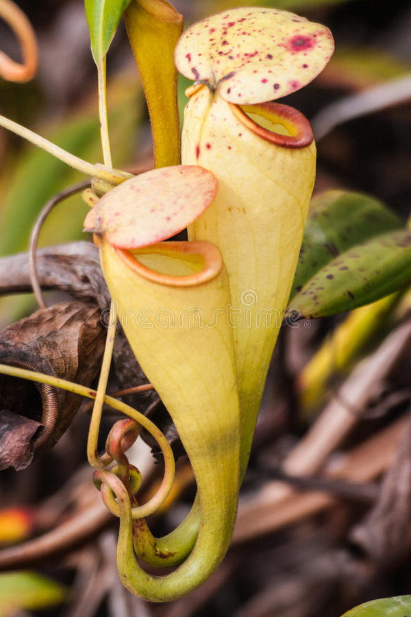 Nepenthes. Carnivorous plant endemic to southern Madagascar stock image