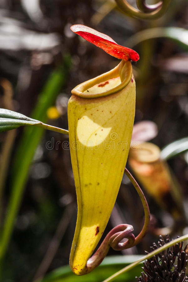 nepenthes arkivbild