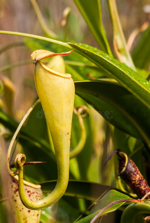 nepenthes royaltyfri foto