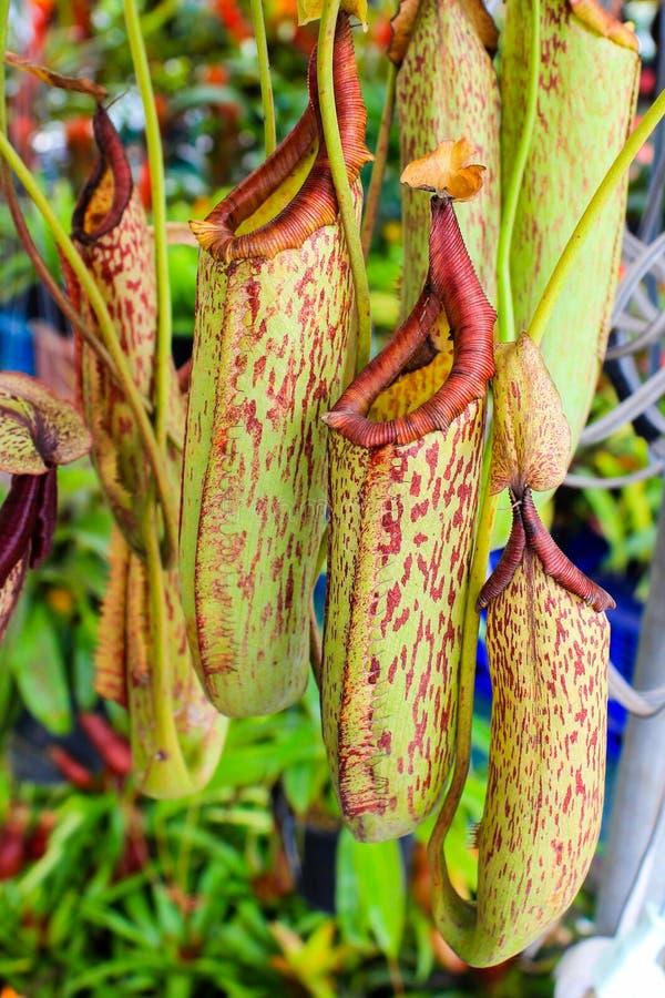 Nepenthes stock afbeeldingen