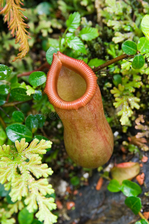 Nepenthes. Detail of carnivorous plant Nepenthes royalty free stock photography