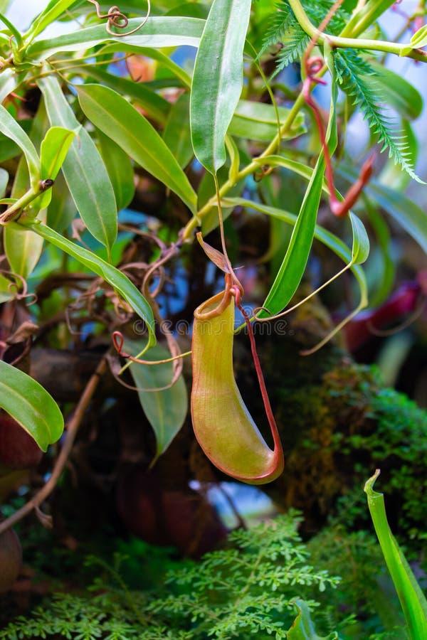 Nepenthes alata Blanco predator planta carnívora da família Nepenthaceae Liana tropical com armadilha de jarro de insetos imagens de stock royalty free